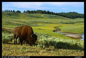 Bisons de Yellowstone : le 6e sens des animaux en question